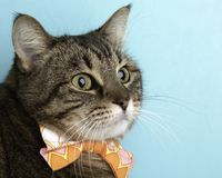 Brown Tabby Cat Portrait in Studio and Wearing a Bow Tie. Close Up of the Face royalty free stock photography