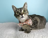 Brown Tabby Cat Portrait in Studio and Wearing a Bow Tie. Alert Face Lying Down stock photos