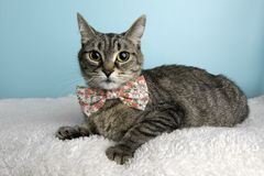 Brown Tabby Cat Portrait in Studio and Wearing a Bow Tie. Making a Funny Face stock image