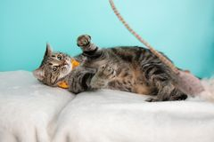 Brown Tabby Cat Portrait in Studio and Wearing a Bow Tie. Lying Down Playing with a Toy royalty free stock images