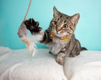 Brown Tabby Cat Portrait in Studio and Wearing a Bow Tie. Sitting Swatting and Playing with a Toy stock photos