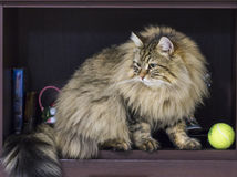 Adorable brown tabby male siberian cat sitting in the house. Brown tabby cat in relax time, siberian hypoallergenic Purebred male Royalty Free Stock Photo