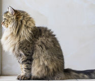 Adorable brown tabby male siberian cat sitting in the house. Brown tabby cat in relax time, siberian hypoallergenic Purebred male Stock Images