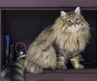 Adorable brown tabby male siberian cat sitting in the house Stock Photos