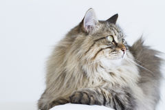 Brown tabby cat of siberian breed lying on the sofa Royalty Free Stock Photo