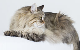 Brown tabby cat of siberian breed lying on the sofa Royalty Free Stock Photos