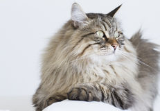 Brown tabby cat of siberian breed lying on the sofa Stock Images
