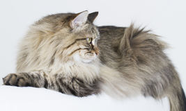 Brown tabby cat of siberian breed lying on the sofa Royalty Free Stock Images