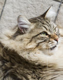 Brown tabby cat of siberian breed outdoor Royalty Free Stock Photo