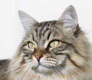 Brown tabby cat of siberian breed outdoor Royalty Free Stock Photos