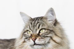 Brown tabby cat of siberian breed outdoor Stock Photography