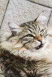 Brown tabby cat of siberian breed outdoor Stock Photos