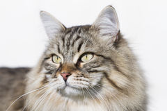 Brown tabby cat of siberian breed outdoor Royalty Free Stock Image