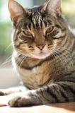 Brown tabby cat sits near a window. Brown tabby cat sits near a sunny window Royalty Free Stock Images