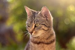 Brown Tabby Cat. Sitting in the garden, illuminated by beautiful sunlight. Selective focus royalty free stock photo