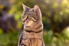 Brown Tabby Cat. Sitting in the garden, illuminated by beautiful sunlight. Selective focus stock photo