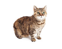 Brown Tabby Cat Sitting Looking Up Stock Photo