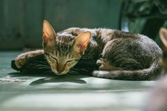Brown Tabby Cat Sleeping Stock Image