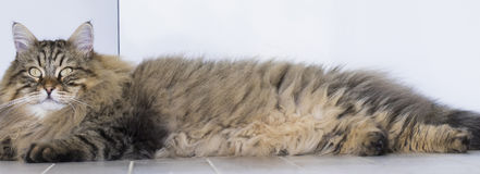 Cute brown tabby male siberian cat lying  in the house. Brown tabby cat in sleeping time, siberian hypoallergenic Purebred Stock Photo