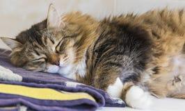 Adorable brown tabby female siberian cat lying on a towel Stock Photos