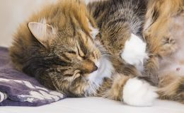 Adorable brown tabby female siberian cat lying on a towel in sleeping time Stock Photography