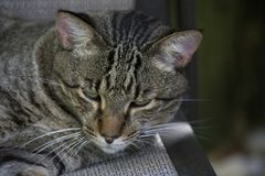 Brown Tabby Cat with Stripey Face Relaxing on a Brown Outdoor Chair. Brown Tabby Cat Domestic Shorthair is Outdoors Relaxing in the Evening Royalty Free Stock Images
