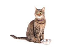 Brown tabby cat waiting for dinner. Sitting next to her bowl, on white Royalty Free Stock Photos