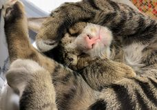 The brown Tabby cat was sleeping while he was trying to cover hi royalty free stock images