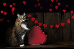 Cat Looking Up at Valentine Hearts. A brown tabby cat with white feet, chest and chin sitting near velvet heart shaped box looking up at red hearts in air Stock Images