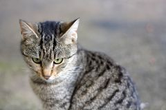 Brown Tabby Cat. Young brown tabby cat sitting in the garden, curiously looking aroung. Seleective focus royalty free stock photo