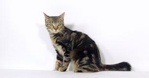 Brown Tabby Domestic Cat, chat se reposant sur le fond blanc, mouvement lent clips vidéos