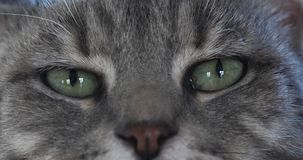 Brown Tabby Domestic Cat, close-up dos olhos, tempo real filme
