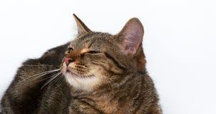 Brown Tabby Domestic Cat en el fondo blanco, metrajes