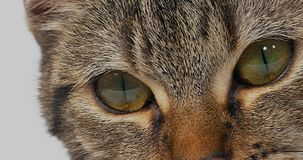 Brown Tabby Domestic Cat en el fondo blanco, primer de ojos, metrajes