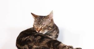Brown Tabby Domestic Cat Licking sur le fond blanc, mouvement lent clips vidéos