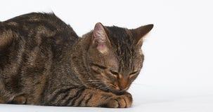Brown Tabby Domestic Cat Licking sus patas en el fondo blanco, almacen de video