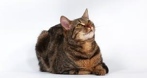 Brown Tabby Domestic Cat Licking sus tajadas en el fondo blanco, almacen de video
