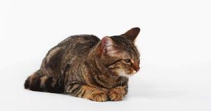 Brown Tabby Domestic Cat Meowing en el fondo blanco, metrajes