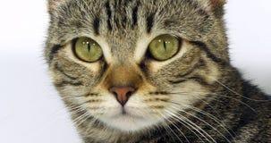 Brown Tabby Domestic Cat, portrait d'un chat sur le fond blanc, du plan rapproché des yeux et de la moustache, mouvement lent banque de vidéos