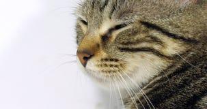 Brown Tabby Domestic Cat, portrait d'un chat sur le fond blanc, du plan rapproché des yeux et de la moustache, mouvement lent clips vidéos