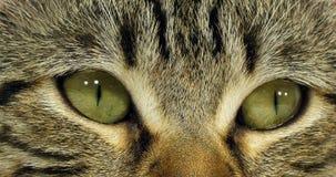 Brown Tabby Domestic Cat, portrait d'un chat sur le fond blanc, fin des yeux, mouvement lent banque de vidéos