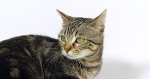 Brown Tabby Domestic Cat, portrait d'un chat sur le fond blanc, mouvement lent banque de vidéos