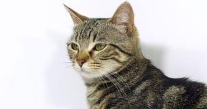 Brown Tabby Domestic Cat, portrait d'un chat sur le fond blanc, mouvement lent clips vidéos