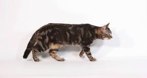 Brown Tabby Domestic Cat Walking e miar contra o fundo branco, movimento lento filme