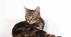Brown Tabby Domowego kota oblizanie przeciw Białemu tłu, zwolnione tempo zbiory