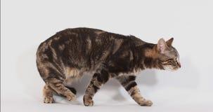 Brown Tabby Domowego kota odprowadzenie przeciw Białemu tłu, zwolnione tempo zbiory wideo