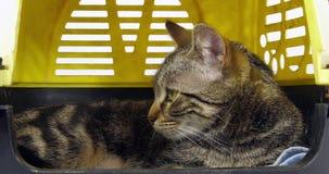 Brown tabby domowy kot, kicia w swój przewożenie kosz na białym tle, zwolnione tempo zbiory