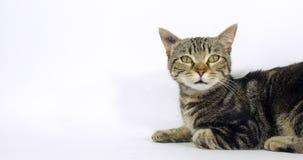 Brown tabby domowy kot, portret kicia na białym tle, meowing, zwolnione tempo zbiory
