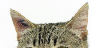 Brown tabby domowy kot, portret kicia na białym tle w górę ucho, zwolnione tempo zbiory