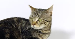 Brown Tabby Domowy kot, portret kicia Na Białym tle, zwolnione tempo zbiory